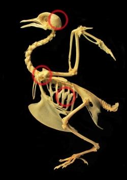 skeleton_of_a_pigeon_by_hontor-d37vkk2000