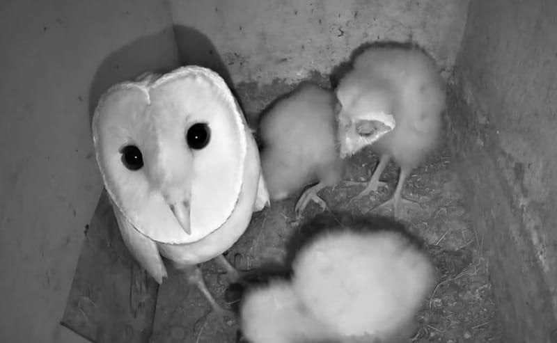 Barn Owl | תנשמות | Cam # 4 | 2020 | The Charter Group of Wildlife Ecology | KKL JNF