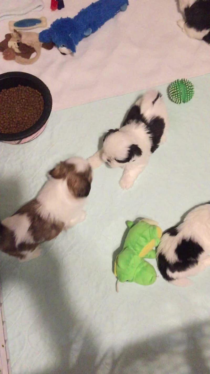 Cammy/Snowy Puppies