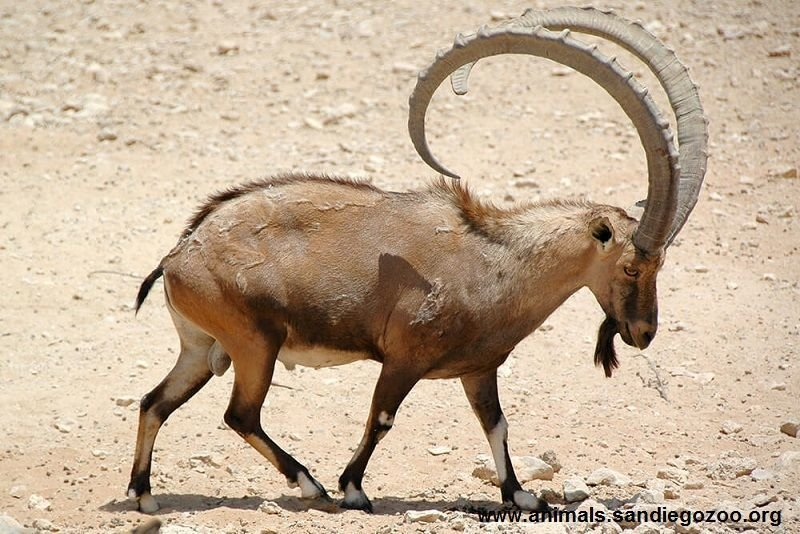 The Nubian Ibex