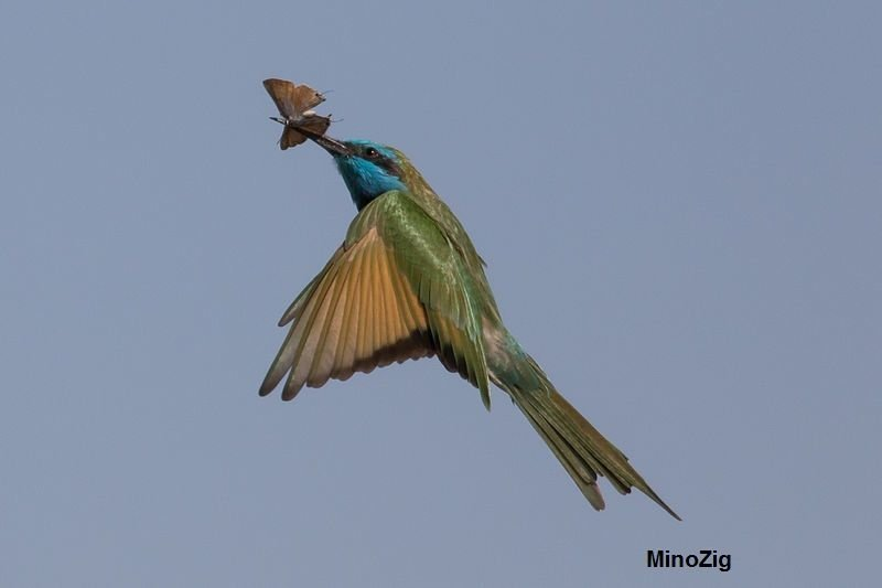 The Oriental Bee-Eater