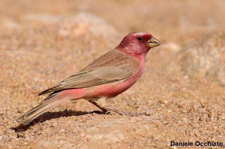 The Sinaï  Rosefinch