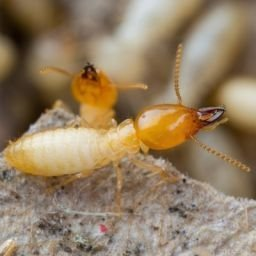 Termite Control, Treatment and Prevention