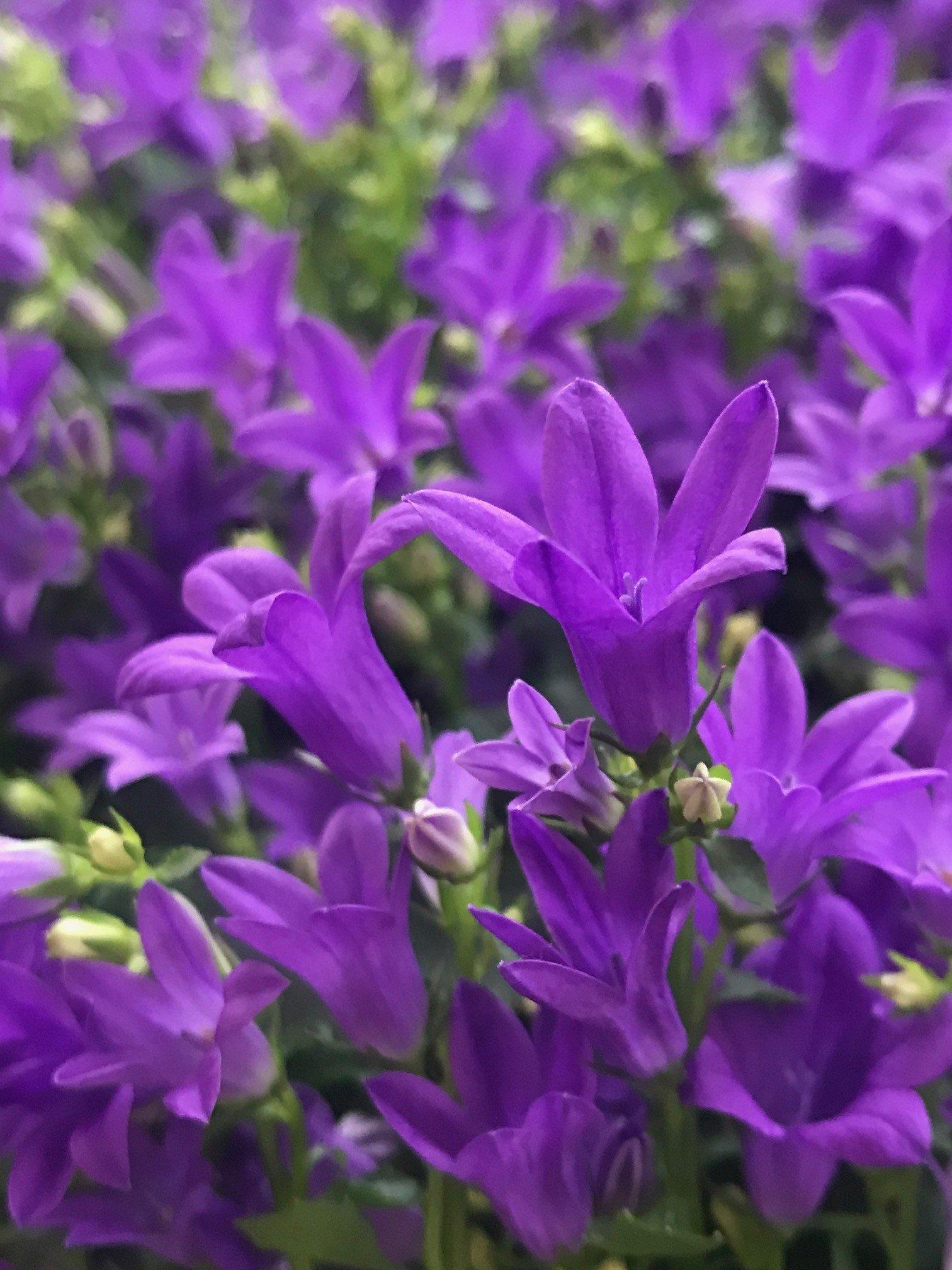 Campanula Bellflowers Ukhouseplants
