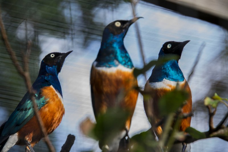 Colourful Starlings