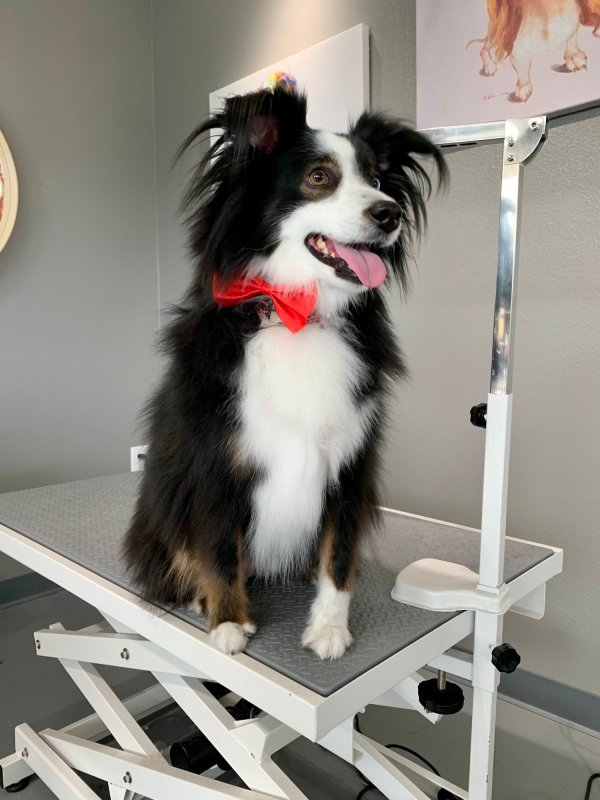 Australian Shepherd Bath & Brush