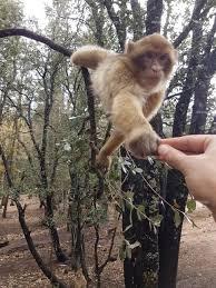 Azrou monkey