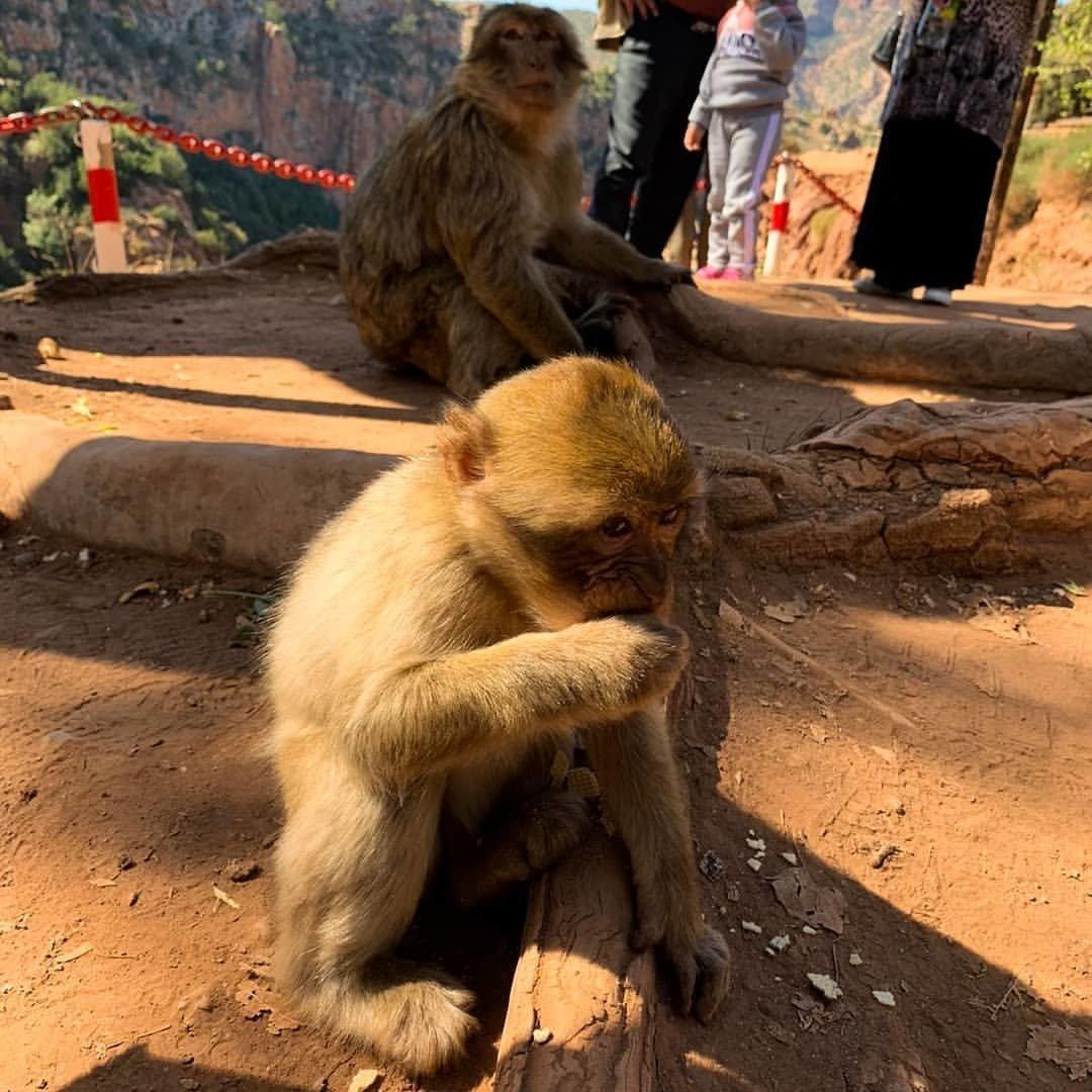 ouzoud monkeys