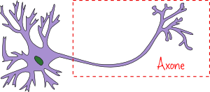 neurone-axone