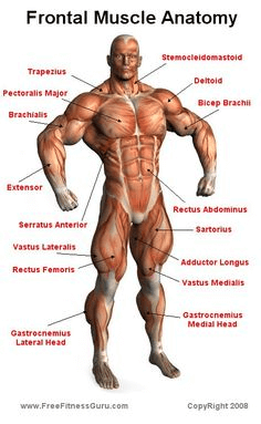 Front Muscle Anatomy