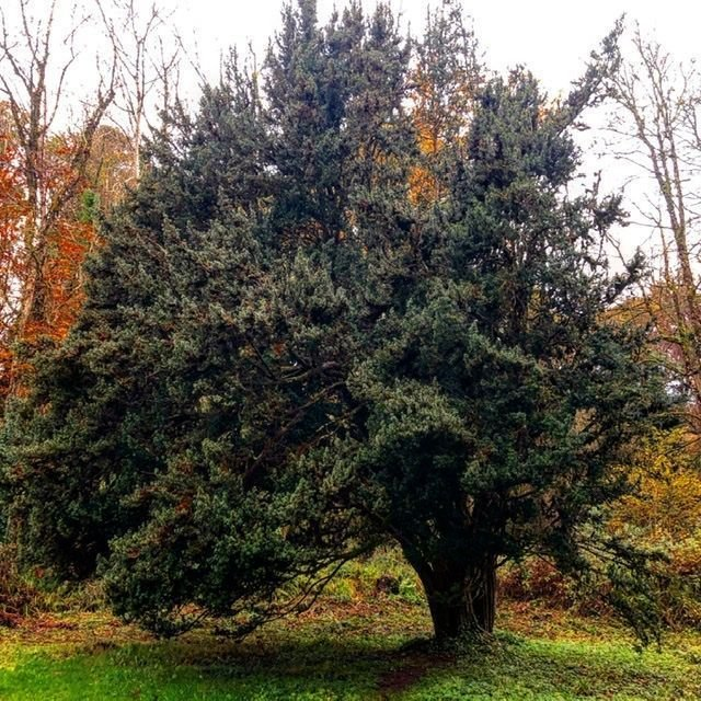 """The oldest """"mother tree"""" of its kind (Irish Yew) in Ireland at Florence Court."""