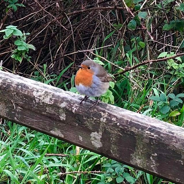 Seriously, even the robins are cuter in Ireland