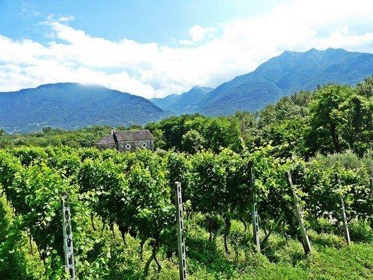 Les vignes de Sementina