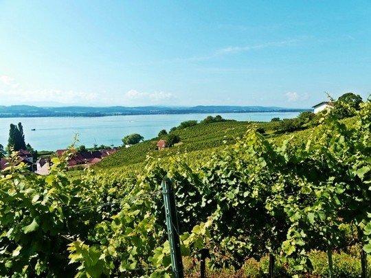 Les vignes au bord du Lac de Morat