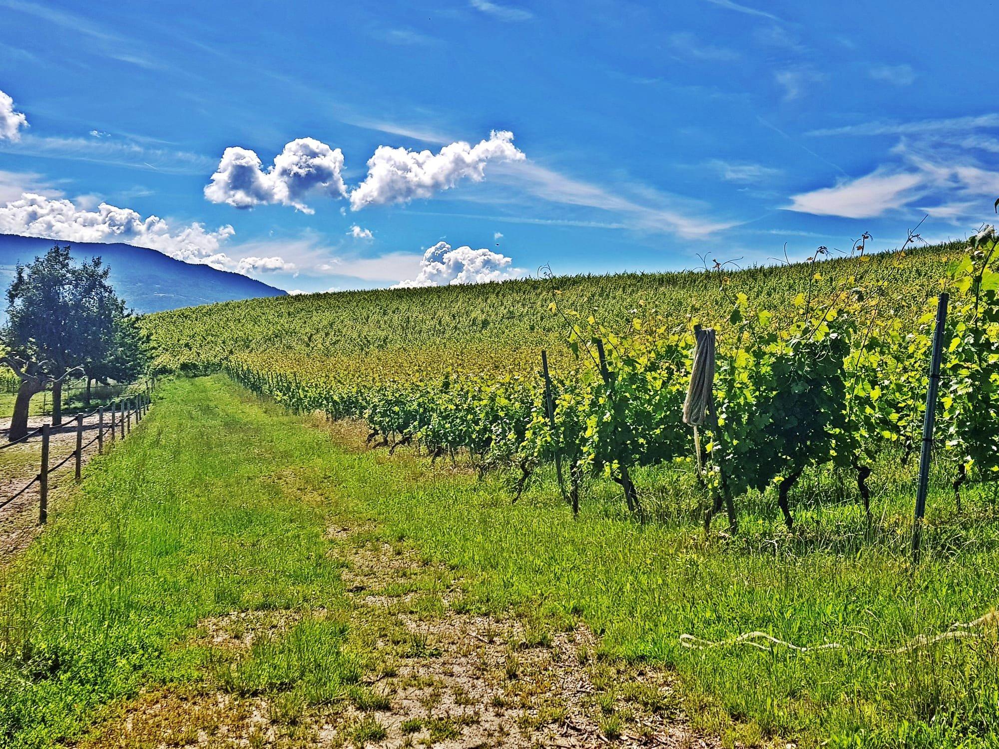 Les vignes à Choulex (Genève)