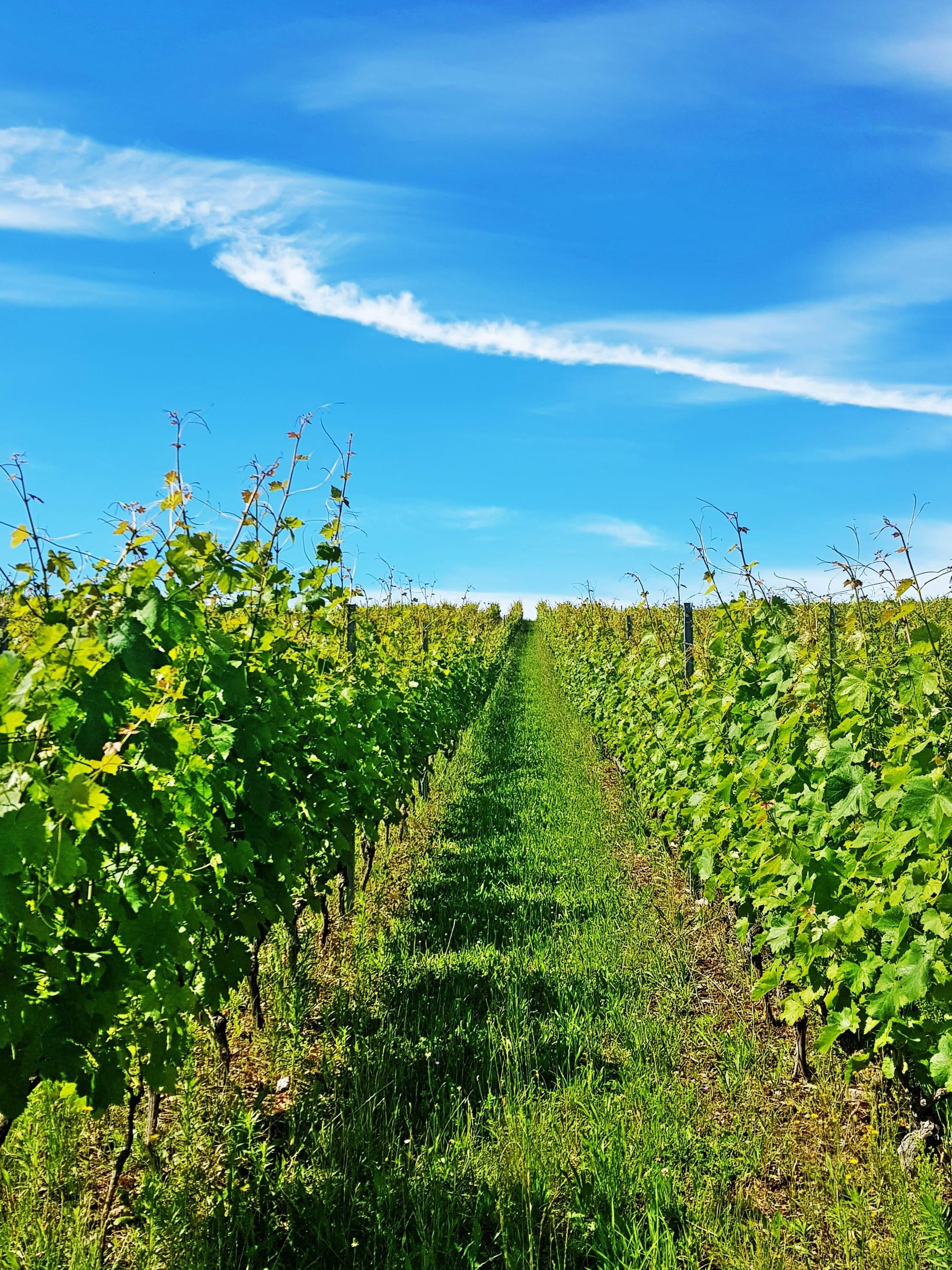 Les vignes Rive gauche à Genève
