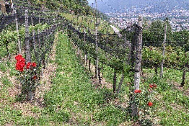 Les vignes de l'Azienda Mondo