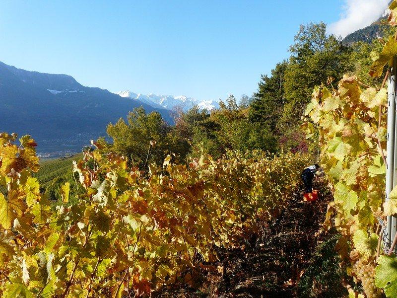 Les vignes de la Cave Le Bosset à Leytron dans le vignoble valaisan.