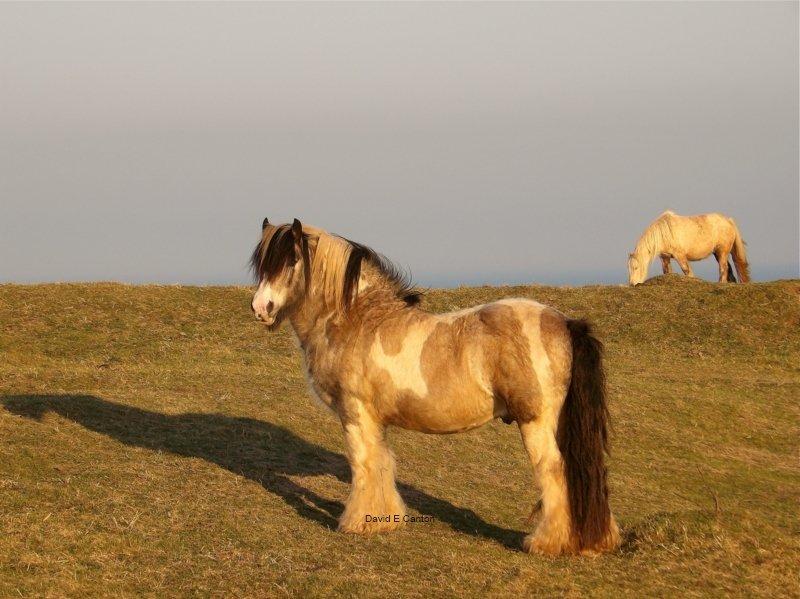 Horses on Pembrokeshire coast