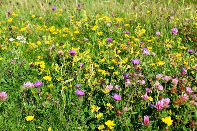 Wild Flowers on the Pembrokeshire Coast