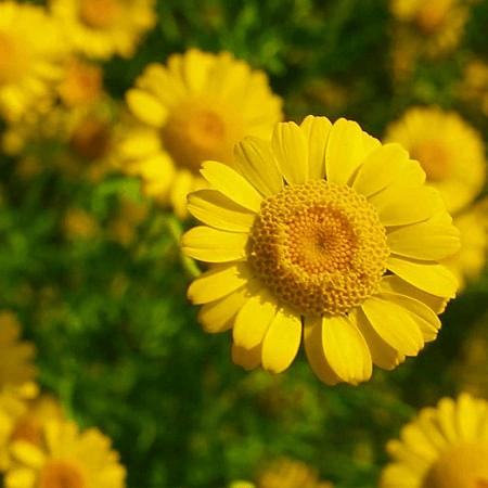 Cúc Vàng rực rỡ bày tỏ lòng kính yêu dành cho Mẹ