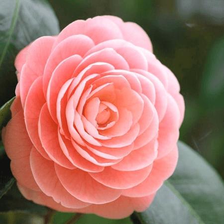 Hoa Sơn Trà mang vẻ đẹp hoàn hảo đến khó tin