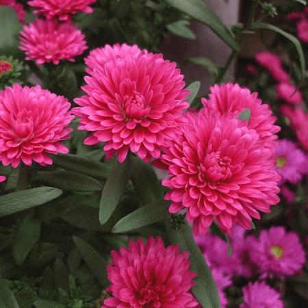 Hoa Cúc Tây là loài hoa thích hơp tặng sinh nhật người yêu