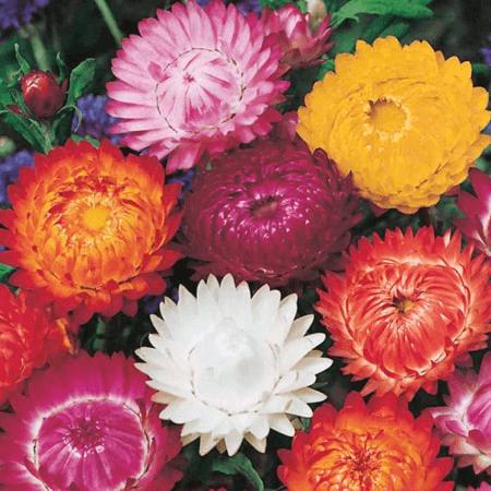 Hoa Bất Tử tông màu nóng rực rỡ là biểu trưng cho tình yêu bất diệt