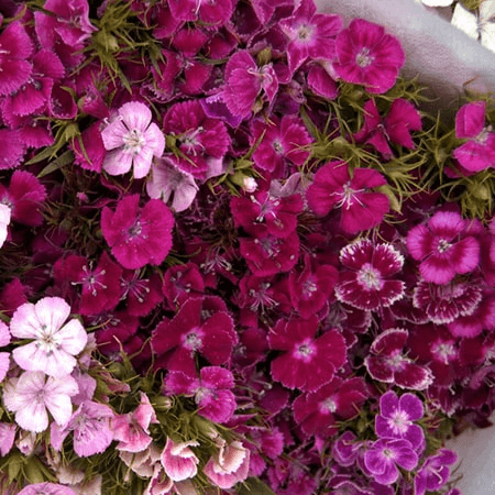 Hoa Păng xê với màu sắc rực rỡ