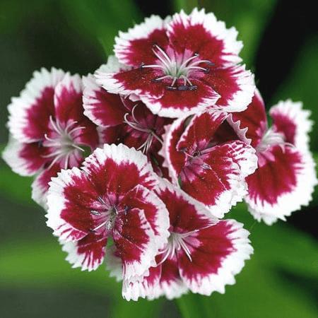 Hoa Cẩm Nhung đỏ thẫm màu tình yêu