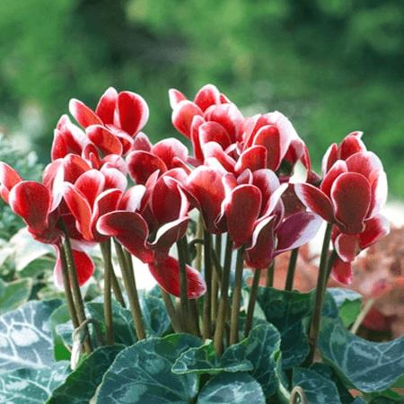 Hoa anh thảo - Biểu trưng cho tình yêu thầm lặng