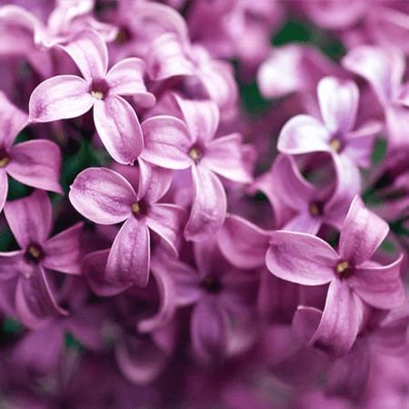 Hoa Tử Đinh Hương với sắc tím mộng mơ