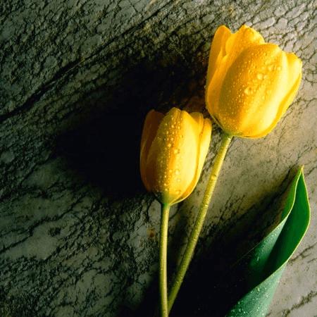 Hoa Tulip Vàng thể hiện tình yêu thầm lặng đã lâu