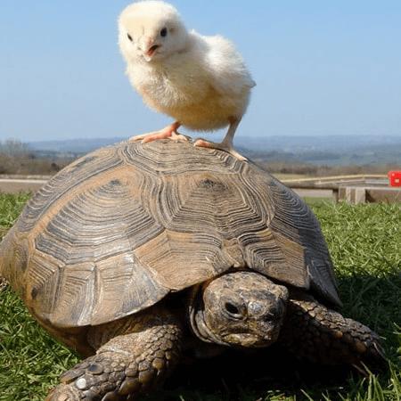 Chuyện rùa và gà