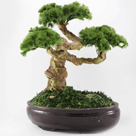 Cây cảnh bonsai cho bố