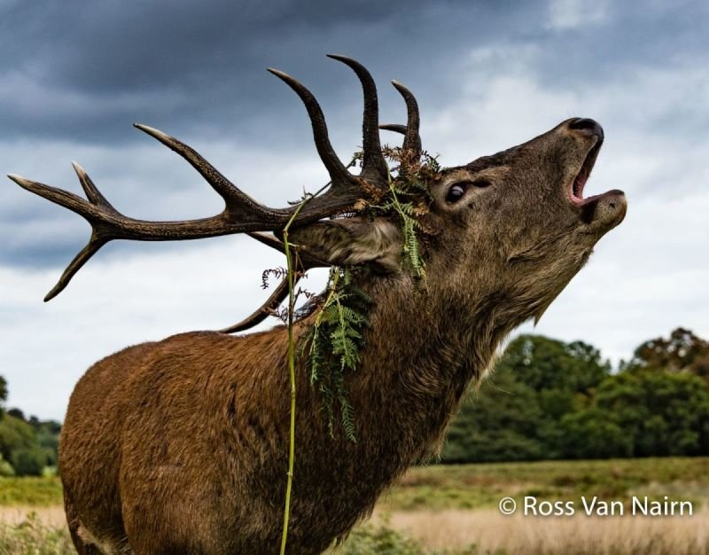 Red Stag Calling