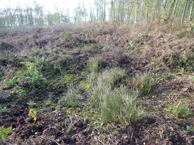 Heather regeneration in Birch Moss