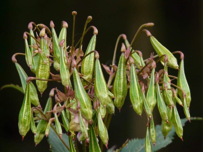 Himalayan balsam seed