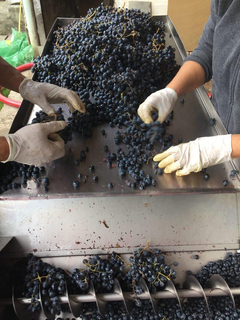 Khashmi's Saperavi, Organic grapes