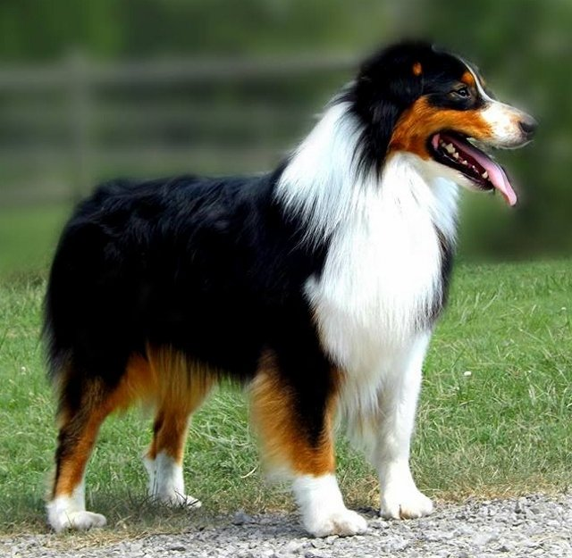 AKC GCH CH MPossible Xecutor of Irongate CD RN, ASCA CH, BIS UKC CH