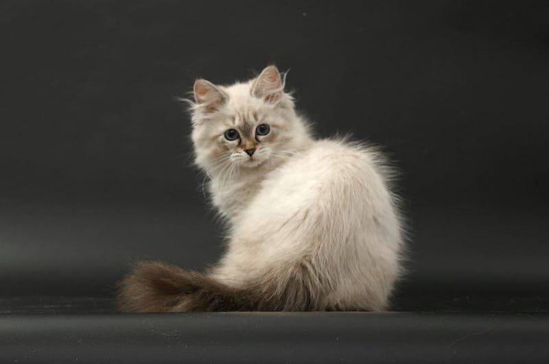 Seal Tabby Point Jade (Katze) mit 16 Wochen