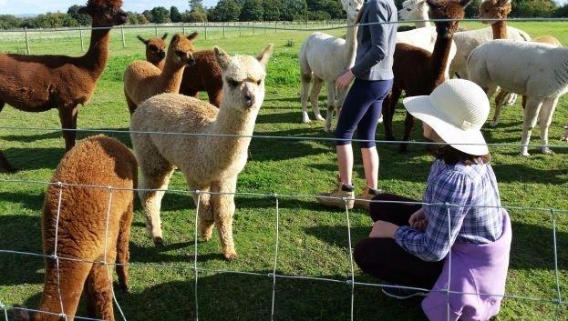 Private Alpaca Experience