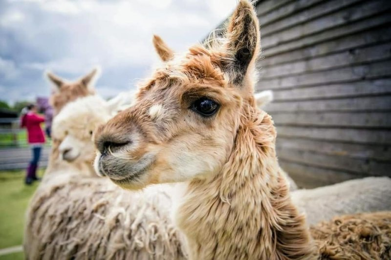 Chewbacca, the Suri Alpaca