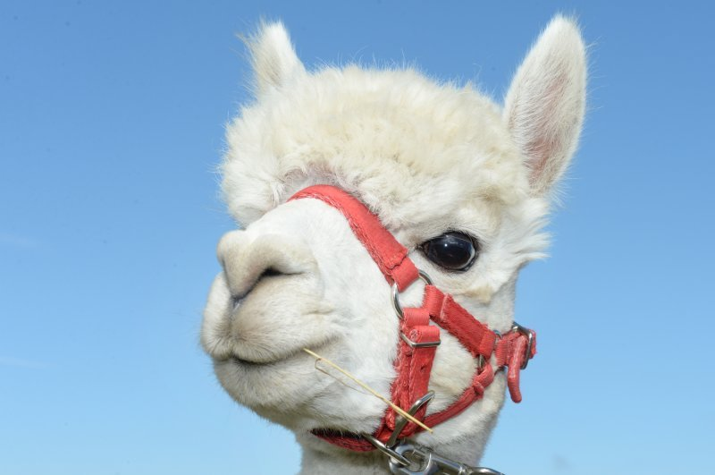 Hermes our Handsome Alpaca