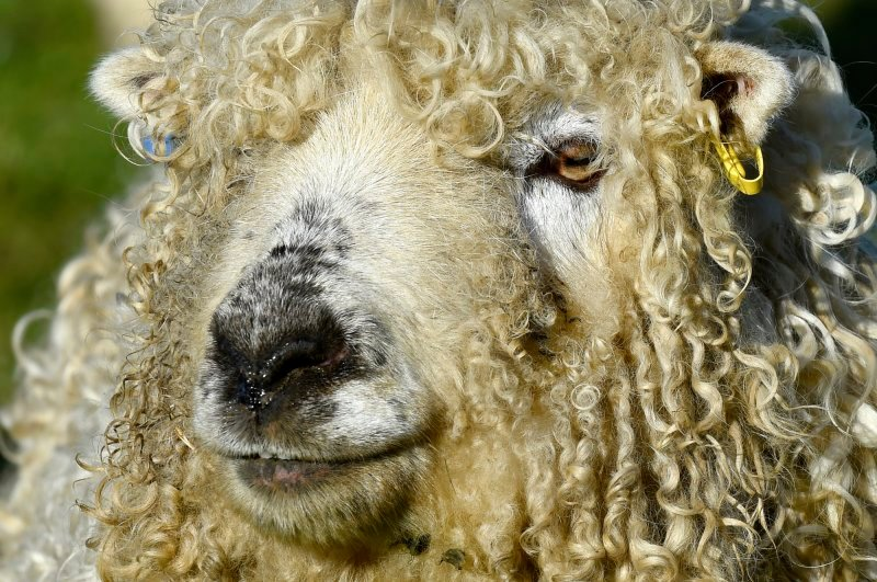 Ramsay the Greyface Dartmoor Sheep