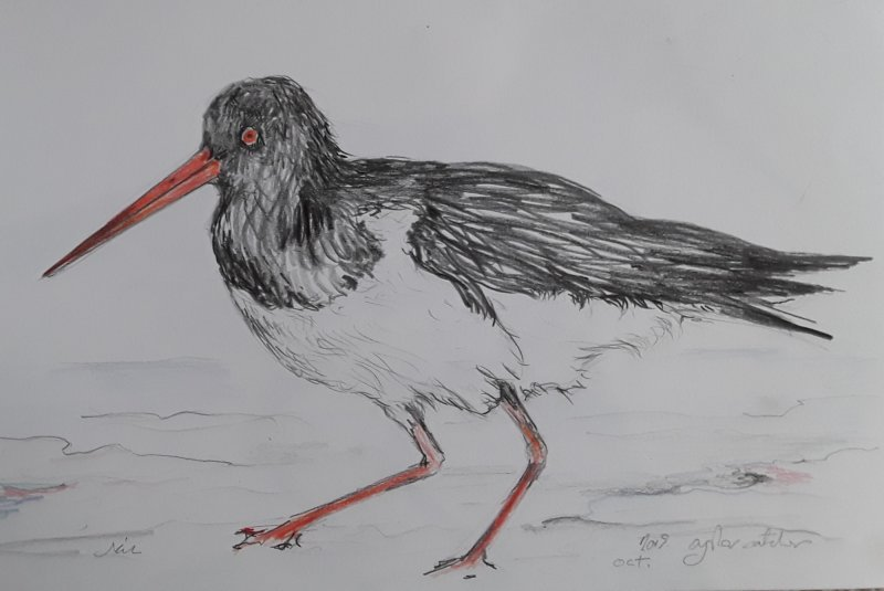 Stamping Oystercatcher
