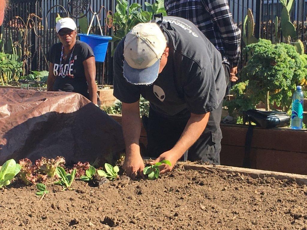 Planting salad greens