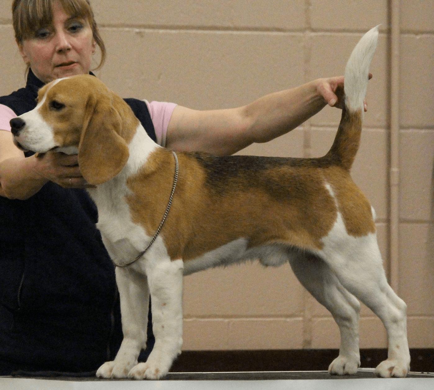 Deaconfield Beagles