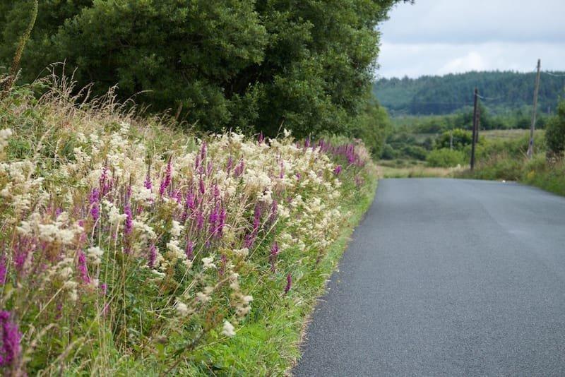 Meadowsweet and Purple Loostrife in abundance