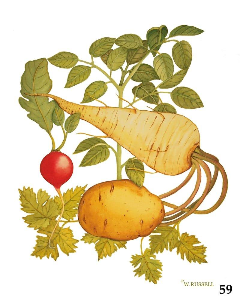 Vegetable Trios Series Radish